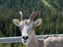 Up Close Mountain Goat Stare. Close up of a Mountain Goat staring you down Stock Photography