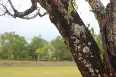 Up Close Old Tree in a Football Field royalty free stock image