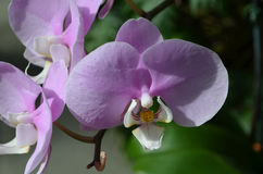 Up Close with a Pale Pink Orchid Flower Blossom Stock Photo