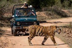 Tiger crossing in front of safari jeep. Asian tiger passing the road in India royalty free stock image