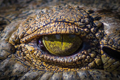 Up Close & Personal Crocodile Encounter  Royalty Free Stock Images
