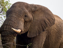 Up Close and Personal Eye Contact with Elephant Royalty Free Stock Photo