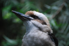 Up Close and Personal with a Kookaburra Bird Stock Image