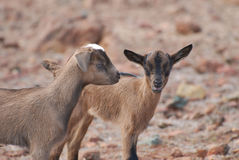Up Close and Personal with Two Baby Goats Royalty Free Stock Image