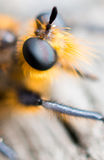 Up Close and Personal. This was a fuzzy fly I found at Yellowstone National Park. I used my macro lens to get up close to the fly and then cropped the picture to Royalty Free Stock Photos