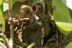 Close up of  bird feeding her chicks in a birds nest Royalty Free Stock Image
