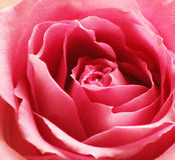 Up Close  Pink Rose. A beautiful close up of a open pink rose Stock Image