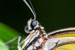Up Close Portrait of a Butterfly. Close up picture of a butterfly head and wing Stock Photography
