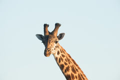 Up close portrait of Giraffe. In Africa during sunset Royalty Free Stock Photo