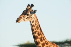 Up close portrait of Giraffe Royalty Free Stock Photos