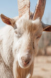 Up Close Portrait of Saanen Goat Stock Photos