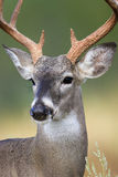 Up close portrait of whitetail Stock Photography