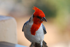 Up Close Red Crested Cardinal Bird with a Breadcrumb. Beautiful look at a red crested cardinal bird with a breadcrumb on his beak Stock Image