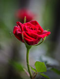 Up Close Red. Macro of a red rose with blurry background Stock Image