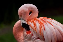 Up close shot of a flamingo with focus on the water droplets on. The wings royalty free stock photography