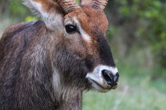 Portrait of a male waterbuck Royalty Free Stock Image