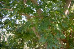 Up-close shot of tree branches and leaves in a shade royalty free stock photo