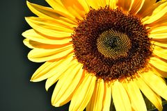 Brown Eye Sunflower Sunshine. Up close, spiral designed brown seed florets on a yellow petaled Sunflower Stock Photo
