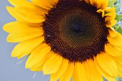 Brown Florets Sunflower Spiralgraph. Up close, spiral designed brown seed florets on a yellow petaled Sunflower Stock Image