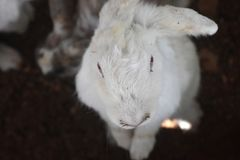 Up Close With A Sweet Wild White Rabbit royalty free stock photos