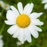 Up close view of a Daisy. Flower bloom royalty free stock images