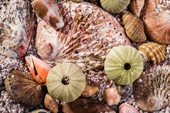 Up close view of a mix of seashells Royalty Free Stock Photo