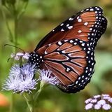 An up close view of a Monarch Butterfly. Sitting on a purple wildflower in a garden stock image