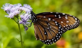 An up close view of a Monarch Butterfly. Sitting on a purple wildflower in a meadow stock photography