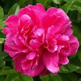 Up close view of a Peony flower in full bloom. An up close view of a bright pink Peony flower in full bloom stock photos
