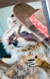 An Up Close View of a Raccoon with a Cowboy Hat. And red bandana Royalty Free Stock Photo