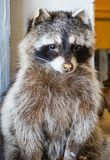 An Up Close View of a Raccoon Royalty Free Stock Photo