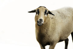 An up close view of a sheep portrait isolated on white Royalty Free Stock Image