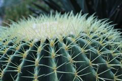 Golden Barrel Cactus Top. Up close view of the spines of a Golden Barrel Cactus.  Echinocactus grusonii. Top view stock image