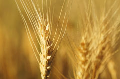 Up Close Wheat Horizontial Stock Photo