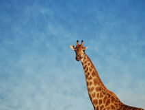 Up in the clouds giraffe. A giraffe looking down on me Royalty Free Stock Photos