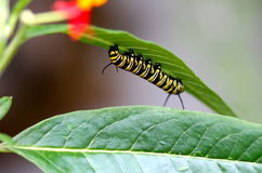 Up and down acrobat. Caterpillar will become a beautiful butterfly in Montreal Botanical Garden greenhouse Royalty Free Stock Image