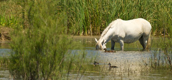 Up-ending horse with ducks. A semi-wild horse feeds on algae submerging his head in the water imitating the feeding behavior used by ducks which is called up Royalty Free Stock Images