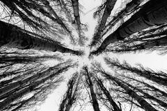 Up the Forest. A group of dead populus trees reaching for the sky on a cold winter day royalty free stock photo