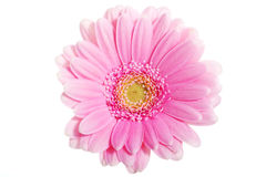 Up front view on pink gerbera flower. Stock Image