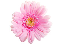 Up front view on pink gerbera flower. Stock Photos