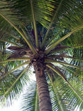 Up at a Palm Tree. Looking up at a palm tree stock image