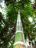 Up the Palms. A tall palm tree in Indian tropics Royalty Free Stock Photos