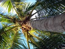 Up The PalmTree. This is a picture of a palm tree as you look up from the bottom to the top of the tree. This is giving an interesting perspective Stock Images