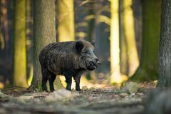 Up the scrofa. The wild nature of the Czech Republic. Free nature. Picture of an animal in nature. Beautiful picture. Animal in th. E woods. Deep forest stock photo