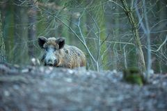 Up the scrofa. The wild nature of the Czech Republic. Free nature. Picture of an animal in nature. Beautiful picture. Animal in th. E woods. Deep forest royalty free stock photography