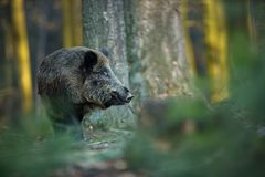 Up the scrofa. The wild nature of the Czech Republic. Free nature. Picture of an animal in nature. Beautiful picture. Animal in th. E woods. Deep forest royalty free stock images