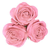 Up shot of pink bright beautiful roses Royalty Free Stock Photo