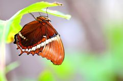 Up side down Rusty-tipped Page butterfly Royalty Free Stock Photos