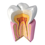 Up side view of teeth anatomy. 3D Illustration of up side view of teeth anatomy Royalty Free Stock Image