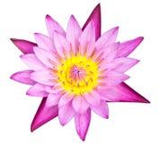 up täta lotusblommar för bakgrund white Arkivbilder